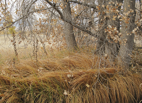 fall cottonwood trees & golden grasses
